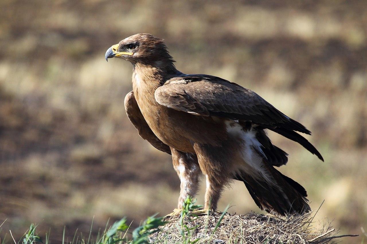 Степной орел фото. Aquila nipalensis