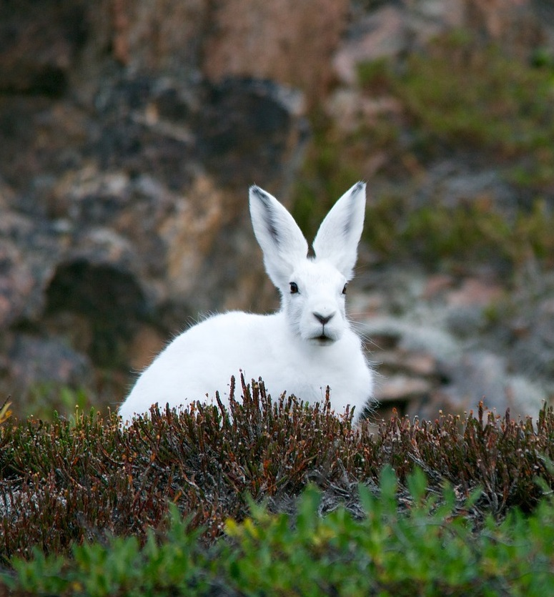 Заяц беляк фото. Lepus timidus
