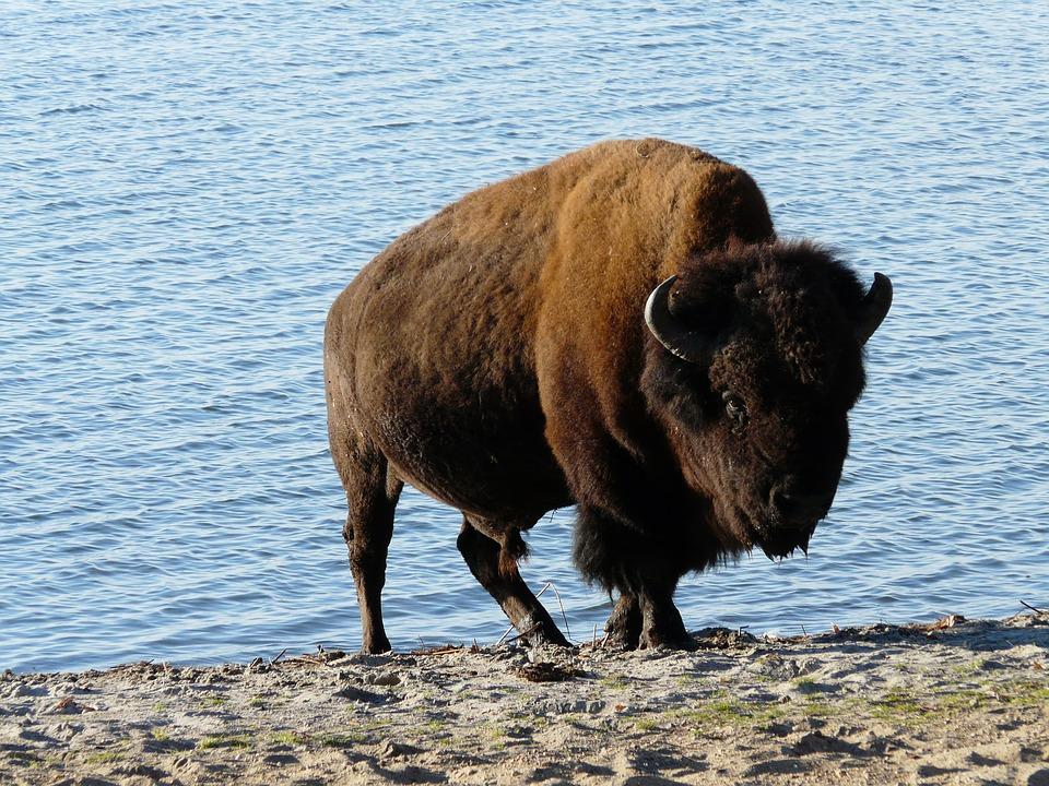 Зубр фото. Bison bonasus