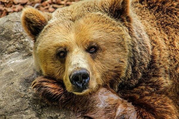 Медвежьи фото