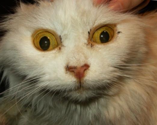 Лептоспироз у кошки фото