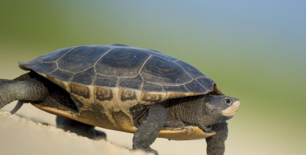 Черепаха фото