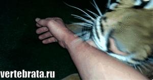 тигр кусается гиф