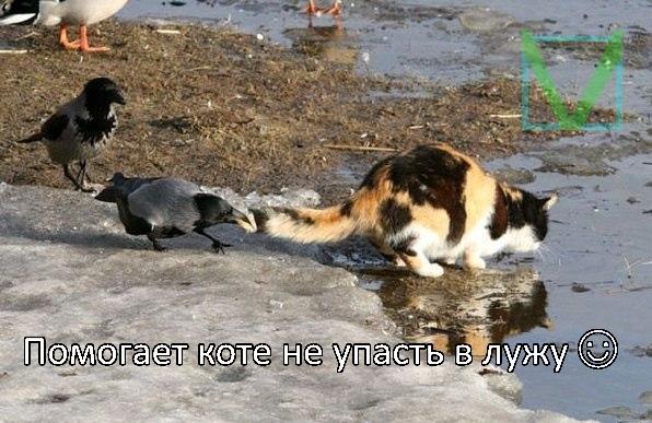 ворона и кошка фото